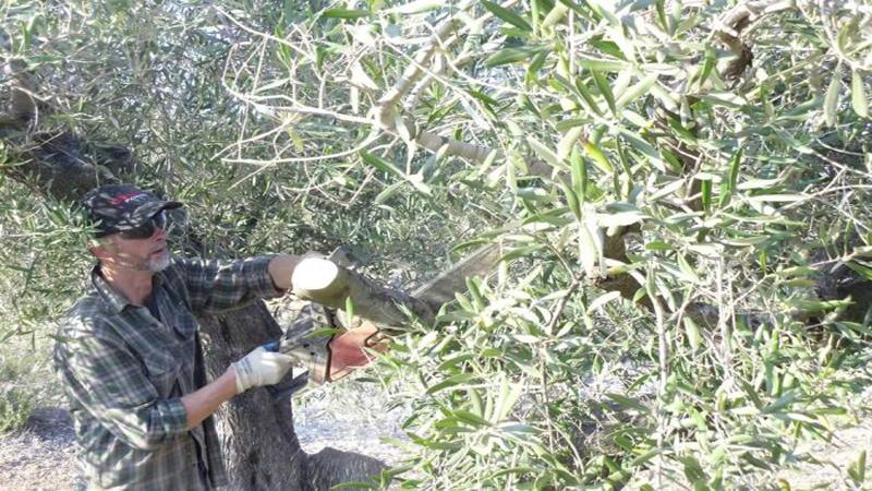 Curso de Poda del Olivo (Cazalla de la Sierra)